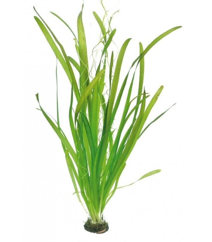 Plantas de acuario vallisneria gigantea for Plantas de acuario