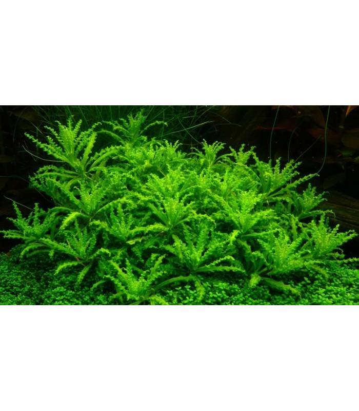 Plantas de acuario pogostemon helferi for Plantas de acuario