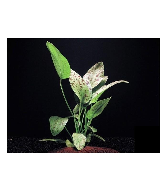 Plantas de acuario echinodorus ozelot green for Plantas de acuario