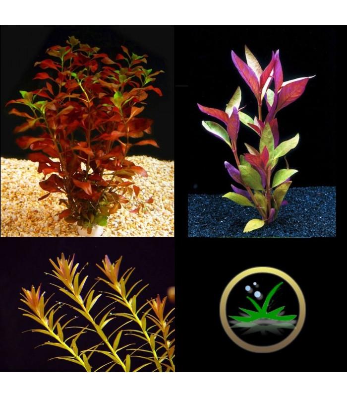 Kit plantas de acuario rojas for Plantas de acuario