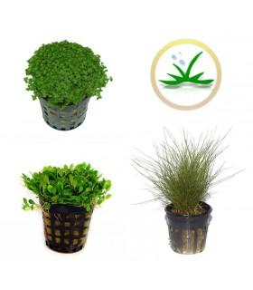 kit plantas tapizantes