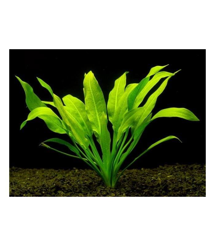 Plantas de acuario echinodorus amazonicus for Plantas de acuario