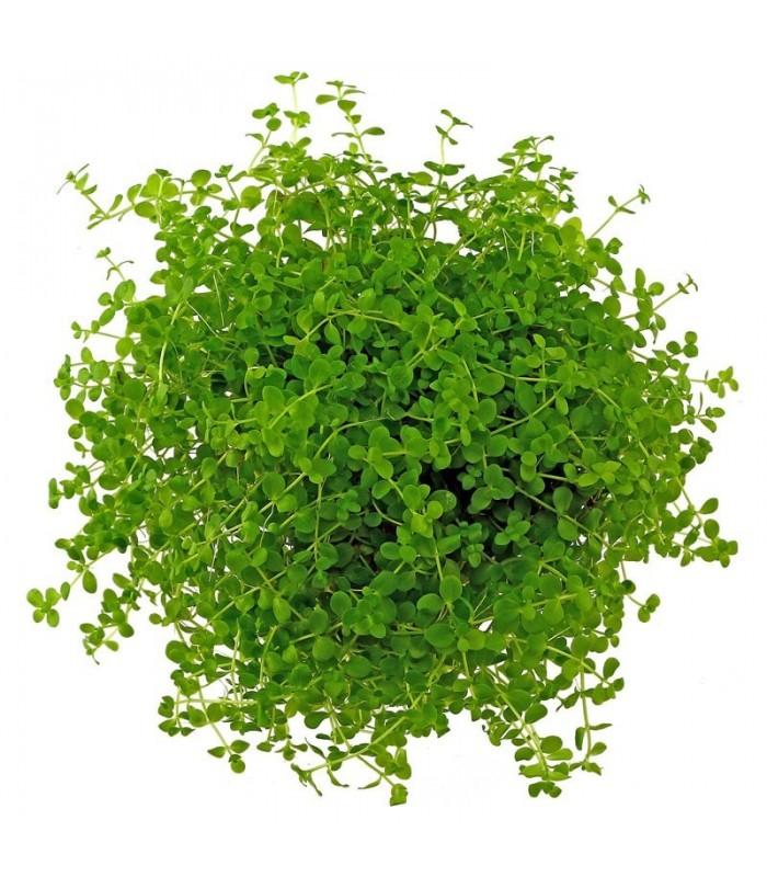 Plantas de acuario micranthemum monte carlo for Plantas de acuario