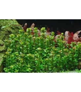 ammania sp. bonsai