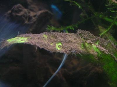 Alga marron