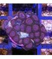 116- Zoanthus Candy Crush
