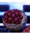 Zoanthus Zombie Eye