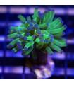 Euphyllia Paradivisa - 1 cabeza